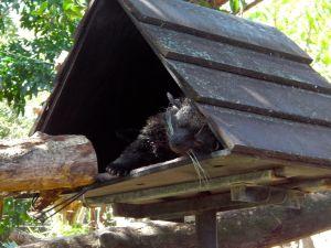 Binturong sleeping