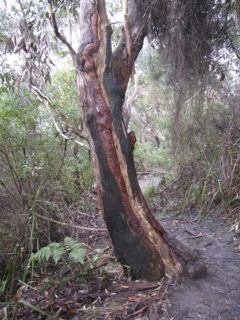 Coloured Bark, Tomaree Head