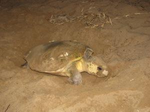 Loggerhead Turtle, Mon Repos